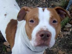 Manhattan    MANUEL - ID#A0923393    MALE, WHITE, PIT BULL MIX, 2 yrs  STRAY - STRAY WAIT, NO HOLD Reason STRAY   Intake condition NONE Intake Date 02/03/2012, From NY 10451, DueOut Date 02/06/2012,   Medical Behavior Evaluation GREEN   Medical Summary SCAN NEGATIVE BRIGHT, ALERT, RESPONSIVE, HYDRATED PHYSICAL EXAM- Palyful dog Mild tartar Intact male NOSF   Weight 65.0    A volunteer writes: I'm a sucker for a handsome face - I admit it. And Manuel is one handsome boy! He is also super…