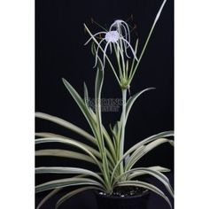 Gardino Nursery: rare & unusual plants for South Florida HYMENOCALLIS CARIBAEA 'VARIEGATA' - Spider Lily