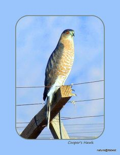 Cooper's Hawk nature print by MoInKiBeadDesigns on Etsy, $20.00