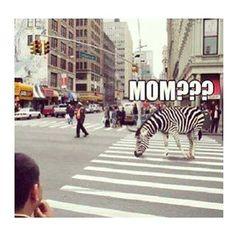 Zebra vindt zijn mama #humor #drogehumor
