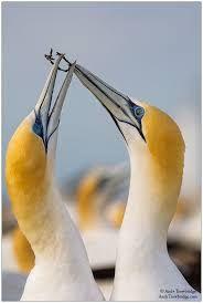 Image result for Australasian gannet