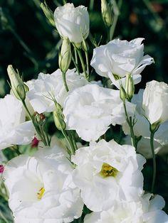 La Eustoma grandiflora