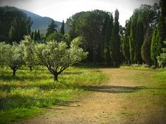 Olive groves in Provence (Lourmarin)
