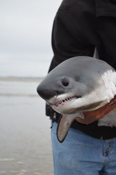"ungramon: ""This is what a baby great white shark looks like. "" This is not a great white shark pup, FYI. This is probably one of the most controversial pictures in the shark world when it comes to identification. This is a Salmon Shark pup. Baby Great White Shark, Beautiful Creatures, Animals Beautiful, Baby Hai, Baby Animals, Cute Animals, Fluffy Animals, Wild Animals, Save The Sharks"