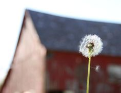 little dandelion...