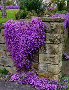 Purple Flowers On The Fence #flowers, https://apps.facebook.com/yangutu/. Creeping phlox