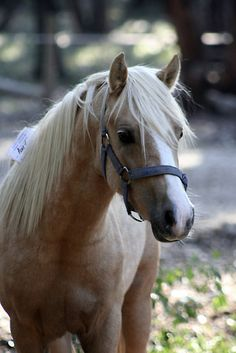 Grenwood Norseman - Welsh Pony  by Diana-Lee Saville