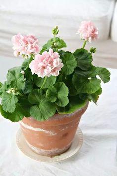 Easy To Grow Houseplants Clean the Air Soft Pink Geraniums Easy Garden, Indoor Garden, Garden Pots, Indoor Plants, Geranium Plant, Pink Geranium, Rose Cottage, Landscaping Tips, Gras