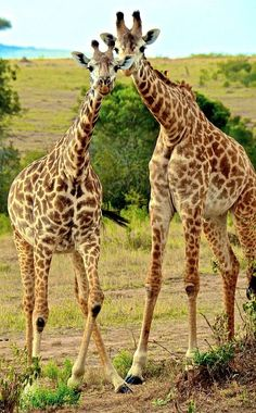 One of my favorite animals.so elegant and graceful as they walk 🤗 Amazing Animal Pictures, Giraffe Pictures, Reptiles, Mammals, Nature Animals, Animals And Pets, Cute Baby Animals, Funny Animals, Wild Animals Photos