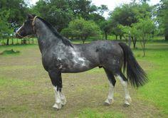 Caballos Criollos - todo sobre el caballo criollo -: Capítulo VII Pelajes: Overo y Tobiano