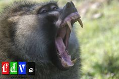 #elfoton14 #categoría #Fauna En el Concurso de Fotografía Elfoton.es tenemos 9 categorías para que todo el mundo encuentre la suya. Participa hasta 15 de agosto en http://elfoton.com/ Usuario : FDVS (Kenya) - Colmillos - Tomada en Kenya el 08/07/2013