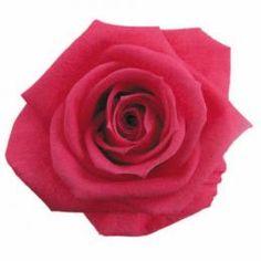 FL0100-08 Standard Rose / Hot Pink