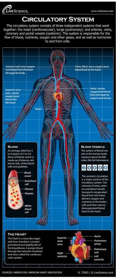 Infographic: Find out all about the blood, lungs and blood vessels that make up the circulatory system.