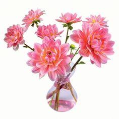Pink Dahlia flat flowers