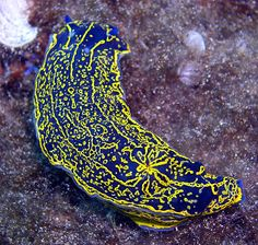 Hypselodoris nudibranch (Lanzarote, Canary Islands)