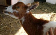 Daily Cute: Pumpkin the Goat's Favorite Scratch Spot