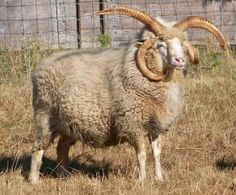 CMW Guero, 4Horn Navaho-Churro sheep