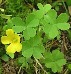 Yellow Flowers, Wild Flowers, Wood Sorrel, Invasive Plants, Clover Green, I Love The Beach, Flower Food, Wild Edibles, Seed Pods
