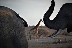 """HERD Elephant Orphanage on Instagram: """"The perfect frame!  Tokwe, the matriarch 🐘of the Jabulani herd follows Limpopo's trail, as they pass by giraffes of Kapama🦒🌿while out on…"""" Giraffes, Trail, Elephant, Meet, Animals, Instagram, Animales, Animaux, Elephants"""