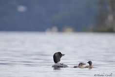 """#ChickPicotheDay! (Day 2,082) """"Somebody's following us"""" It would appear there may be a few shots from the kayak this week, you know before the kids grow up and move to another lake. #CommonLoons #Loon #LoonFamily #Momwithbabies #Paddling #Babies #Lake #BaptisteLake #KayakCameraGirl #BrantfordPhotographer #CanonGirl #TurnAroundandLookAtMeForHeavensSakes #BuildingTrust"""