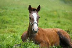 Foal lying on grass Photos Adorable foal lying on grass, summer time by konstantin.tronin