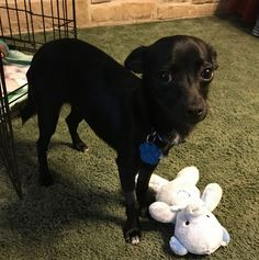 Chihuahua dog for Adoption in St Louis, MO. ADN-599423 on PuppyFinder.com Gender: Male. Age: