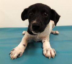 BeeBee is an adoptable Rat Terrier searching for a forever family near Morton…