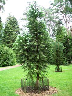 Wollemi pine: Westonbirt arboretum
