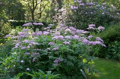 or borders in full sun with sharply draining soil, Chaerophyllum hirsutum 'Roseum' will flourish, producing misty pink flowers in April atop finely dissected foliage that emerges in late winter.  Yet my favourite has to be Selinum tenuifolium from Nepal.  It is a rarely encountered plant but worth searching out.  It does best in rich soil where it displays the most finely dissected foliage topped with white flowers on 5ft stems in late spring.