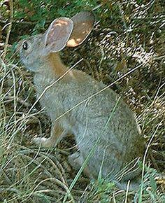 A lebre é a designação vulgar de várias espécies de mamíferos da família Leporidae, pertencentes a um dos seguintes gêneros: Lepus, Caprolagus ou Pronolagus. Podendo-se locomover com grande velocidade, certas espécies de lebres podem atingir até 55 km/h. O macho denomina-se lebrão ou lebracho1 , a fêmea lebre e os filhotes láparos. A lebre, geralmente, é um animal muito tímido, podendo viver em pares ou solitariamente.