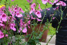 Diana, kesäkukka Diana, Plants, Flora, Plant, Planting