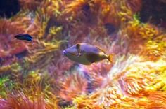 Blackbelly triggerfish swimming in the corals at the zoo of Tallinn Estonia.