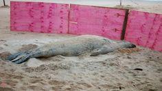 """""""O Grito do Bicho"""": Debilitado no ES, elefante-marinho 'Fred' precisa ..."""