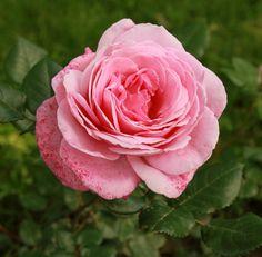klimroos 'Our Last Summer' – Hansen (2013). Doorbloeiend met dubbele lichtroze bloemen (12cm). Intens parfum. Zeer resistent, vraagt weinig zorg. 2m x 1m.