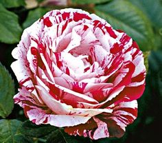 'Scentimental' floribunda rose has unusual peppermint candy striped petals and a strong rose fragrance. Zones 5 - 9.