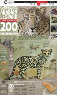 Animals Infographics | Infographic Image Pins for Your Pinboard or Blog | InfoGraphicPins.com #Animals #Infographics #Leopard