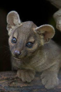 Baby Fossa, Endangered, Madagascar.