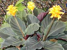 Calathea korbmarante zimmerpflanzen pflanzen und blumen for Stylische zimmerpflanzen