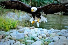 American eagle fishing Photo by Welbis Pestana -- National Geographic Your Shot