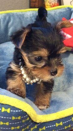 My Yorkie puppy Snickers!