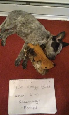 Blue Cadoodle (blue heeler and poodle ) for Sale in ...