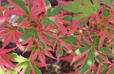 Acer palmatum 'Beni shichenge' Mr. Maple  http://mrmaple.com/beni_shichihenge.html