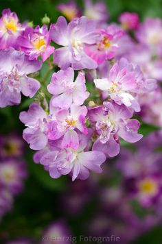 Rosa 'Veilchenblau' | Rambler Rose