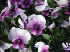Viola Sorbet Orchid Rose Beacon - 4/2/13