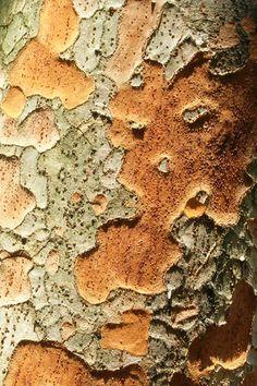 Caucasian elm (Zelkova carpinifolia)
