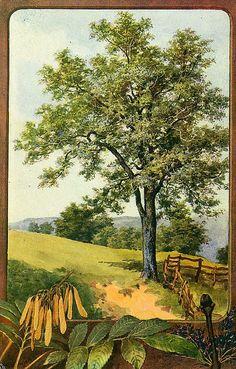 Ash tree tattoo flower 40 ideas for 2019 Elm Tree, Picture Tree, Fine Art Prints, Framed Prints, Deciduous Trees, Kraut, Botanical Art, Trees To Plant, Poster Size Prints