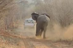 (VIDEO) Angry Elephant Chasing A Jeep For Over 1-1/2 miles