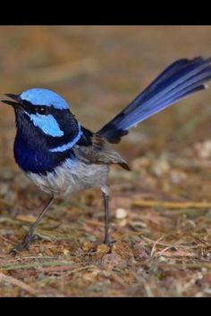 Blue wren Birds 2, Wild Birds, Love Birds, Beautiful Birds, Pet Birds, Tiny Dinosaur, Blue Fairy, Australian Animals, Chickadees