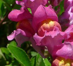Snapdragon - Wild Flower Finder