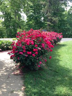 This Knock Out® rose hedge looks pretty sharp! Hedges, Double Knockout Roses, Rose Hedge, Shade Flowers, Rose Trees, Front Yard Landscaping, Dream Garden, Garden Planning, Beautiful Roses